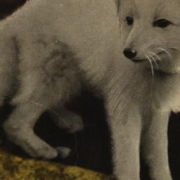 Arctic Fox New York Zoologi...