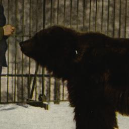 Alaskan Brown Bear New York...