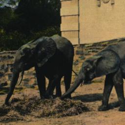 Young African Elephants, Ne...