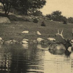 American Elk Bathing New Yo...
