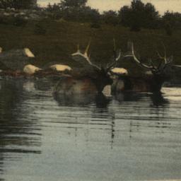 American Elk Bathing. New Y...
