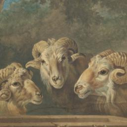 Madagascar Sheep