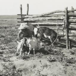 Calves and Goat Kids outsid...